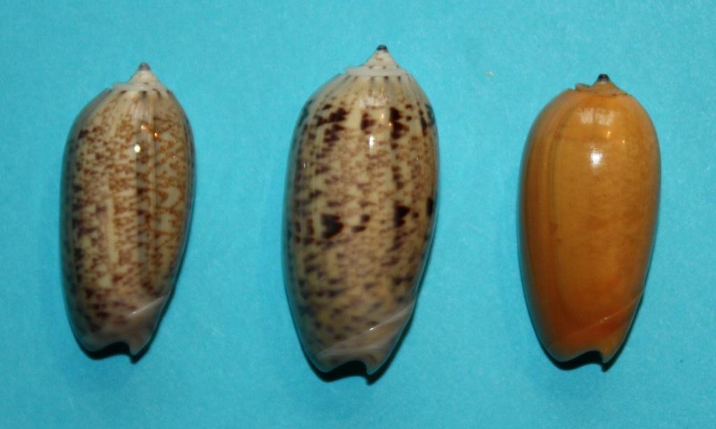Carmione bulbiformis f. similis (Marrat, 1867) voir Carmione bulbiformis (Duclos, 1840) 238