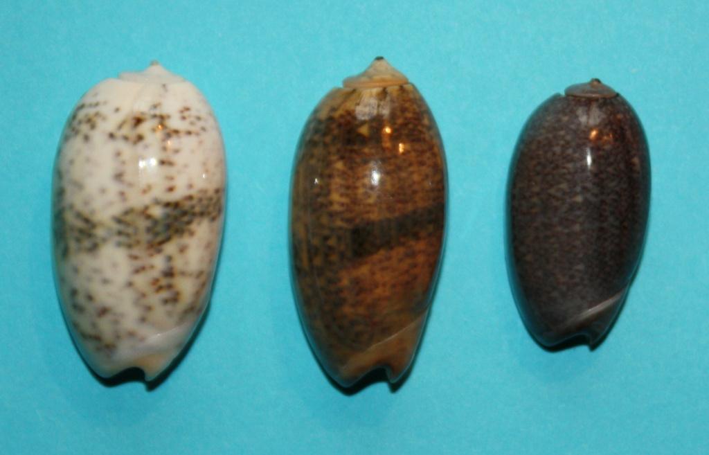 Carmione bulbiformis (Duclos, 1840) - Worms = Oliva bulbiformis Duclos, 1840 239