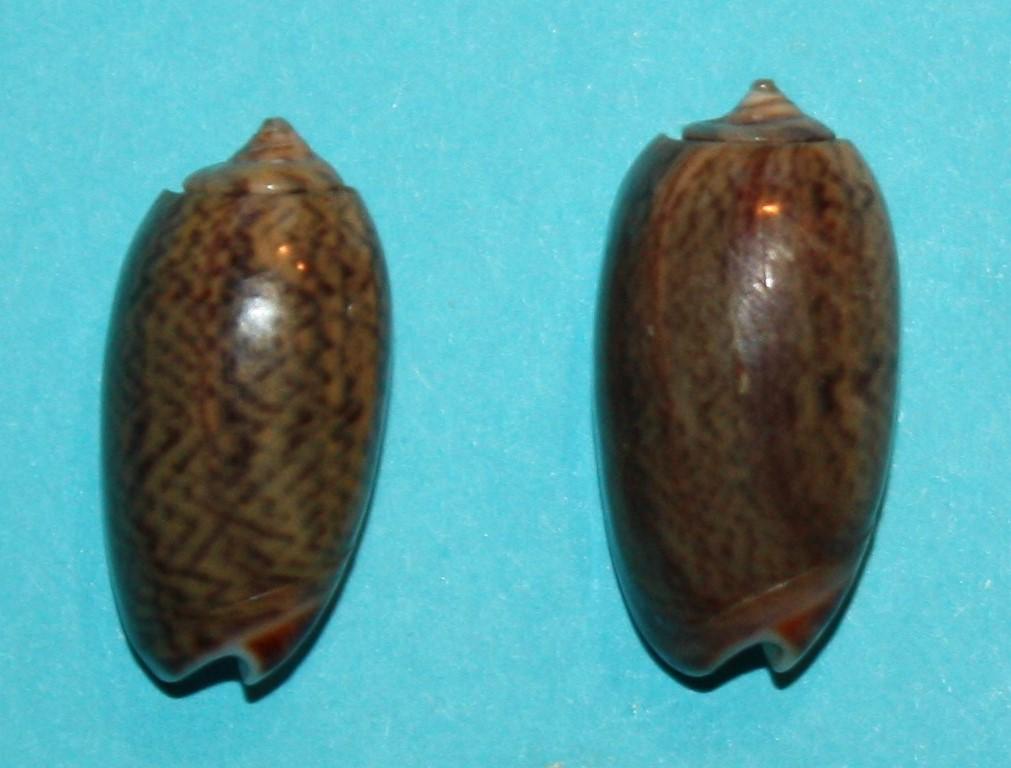 Carmione dactyliola (Duclos, 1835) 240