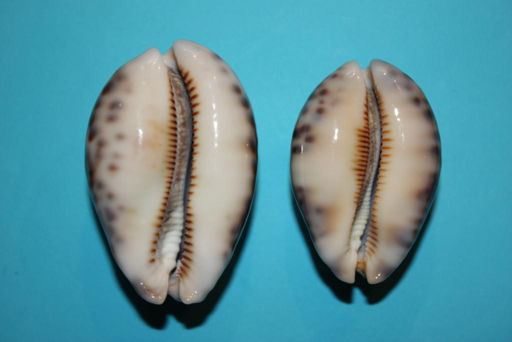 Mauritia histrio - (Gmelin, 1791) - Page 4 2410