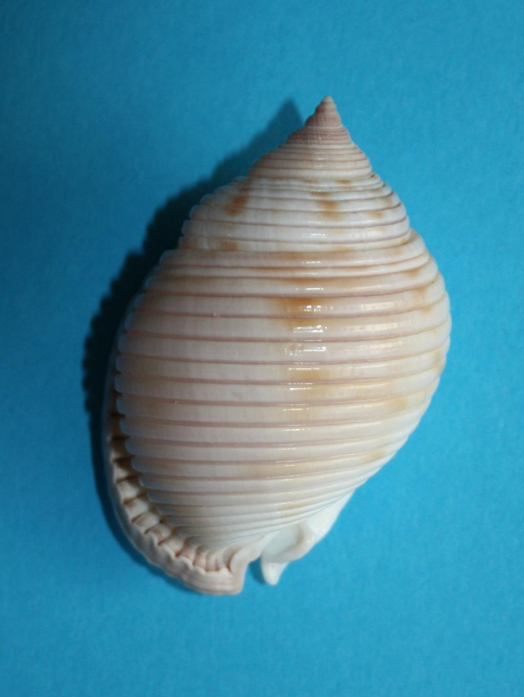 Semicassis umbilicata - (Pease, 1861) 256