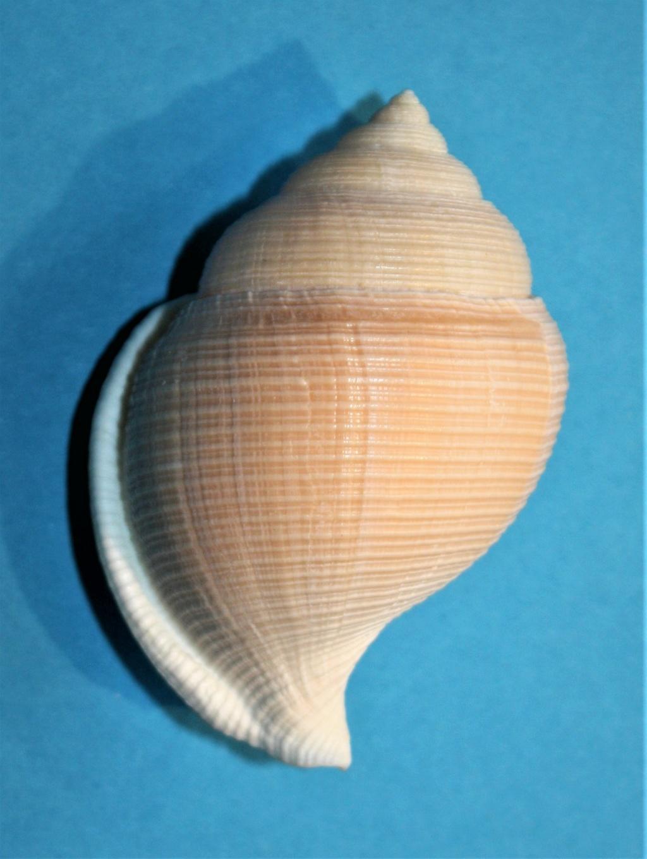 Galeodea keyteri (Kilburn, 1975) 274