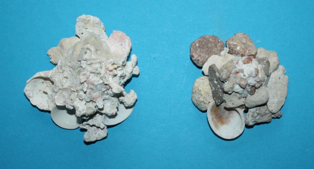 Xenophora flindersi - (Cotton & Godfrey, 1938) 275