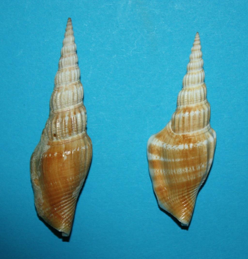 Doxander vittatus apicatus - (Man in 't Veld & Visser, 1993) voir Doxander vittatus (Man in 't Veld & Visser, 1993) 282