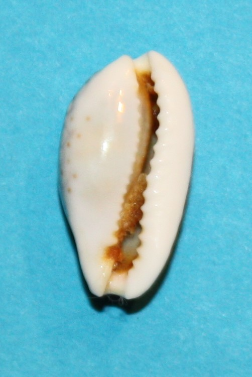 Cribrarula esontropia cribellum - (Gaskoin, 1849) - Page 2 287