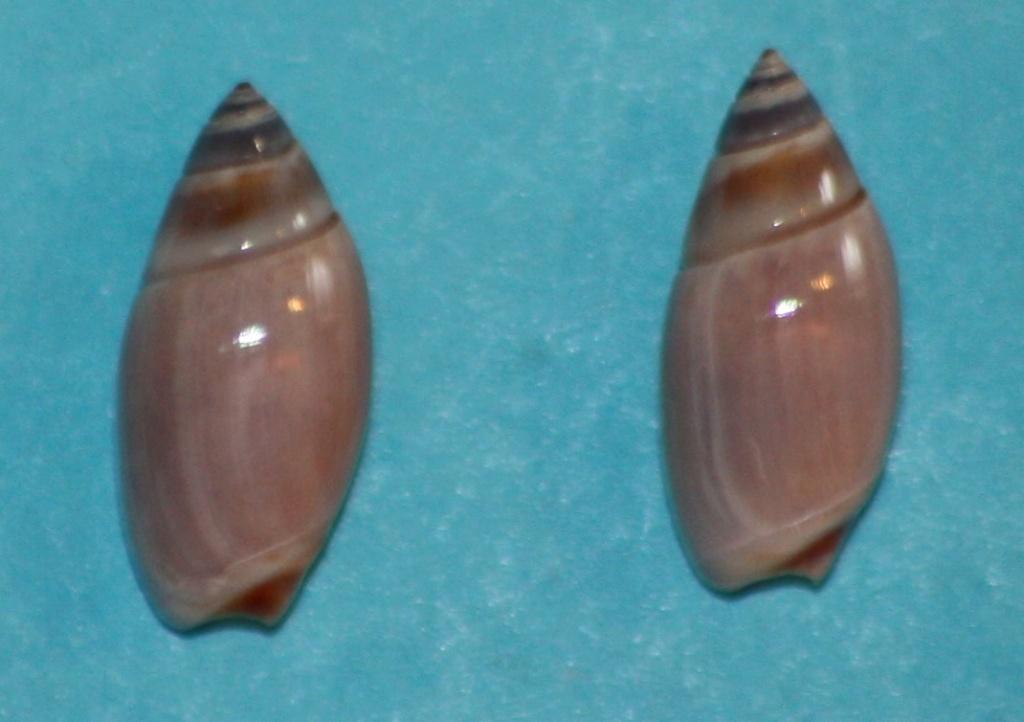 Olivella tehuelcha (Duclos, 1835) 2_11-110