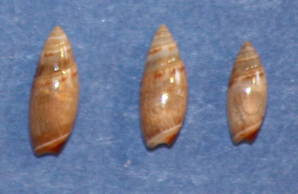 Olivella arionata Absalao, 2000 2_7_5_10