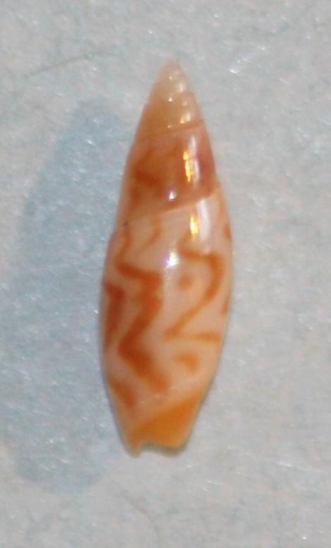 Olivella lanceolata (Reeve, 1850) 2_7_mm10