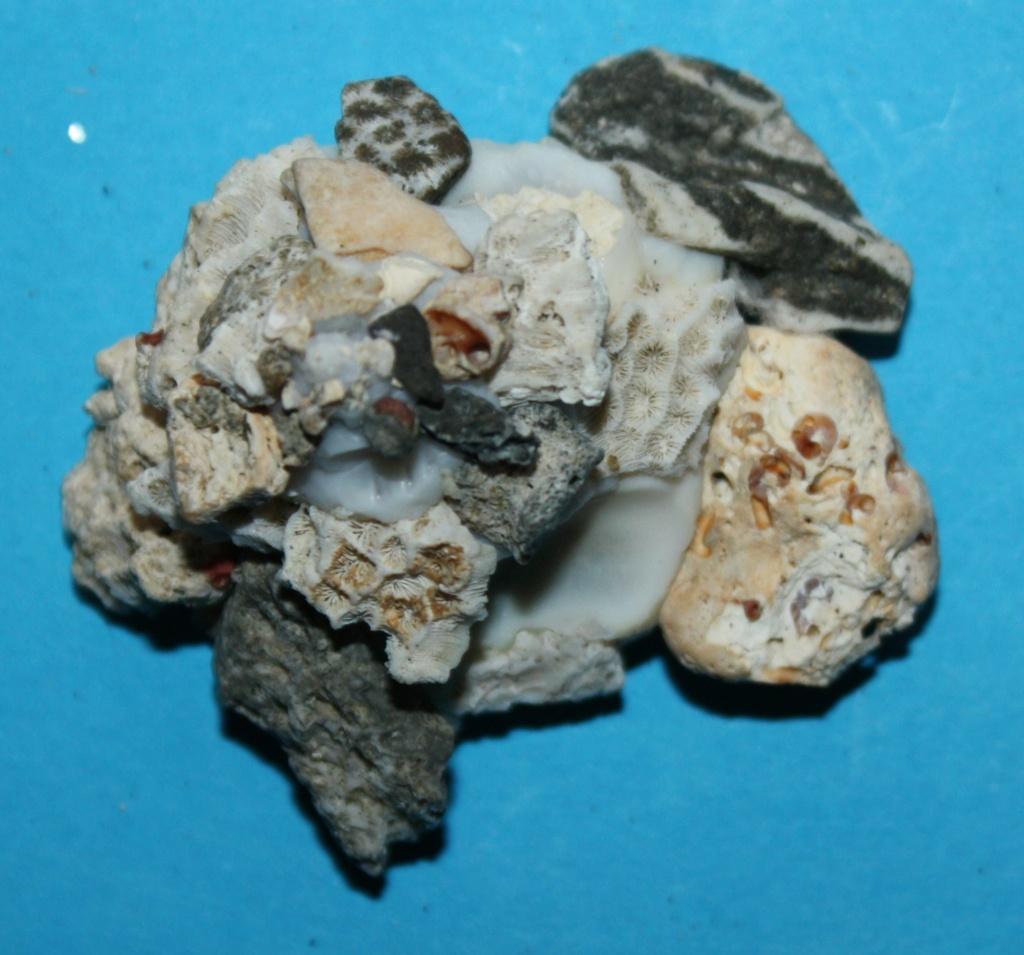 Xenophora robusta - Verrill, 1870 voir Xenophora conchyliophora - (Born, 1780) 2_isla10