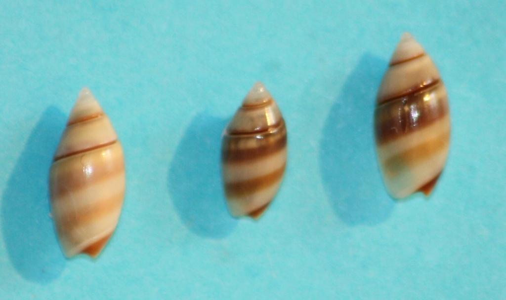 Olivella zonalis (Lamarck, 1811) ou Dactylidia zonalis (Lamarck, 1811) 2_midd10