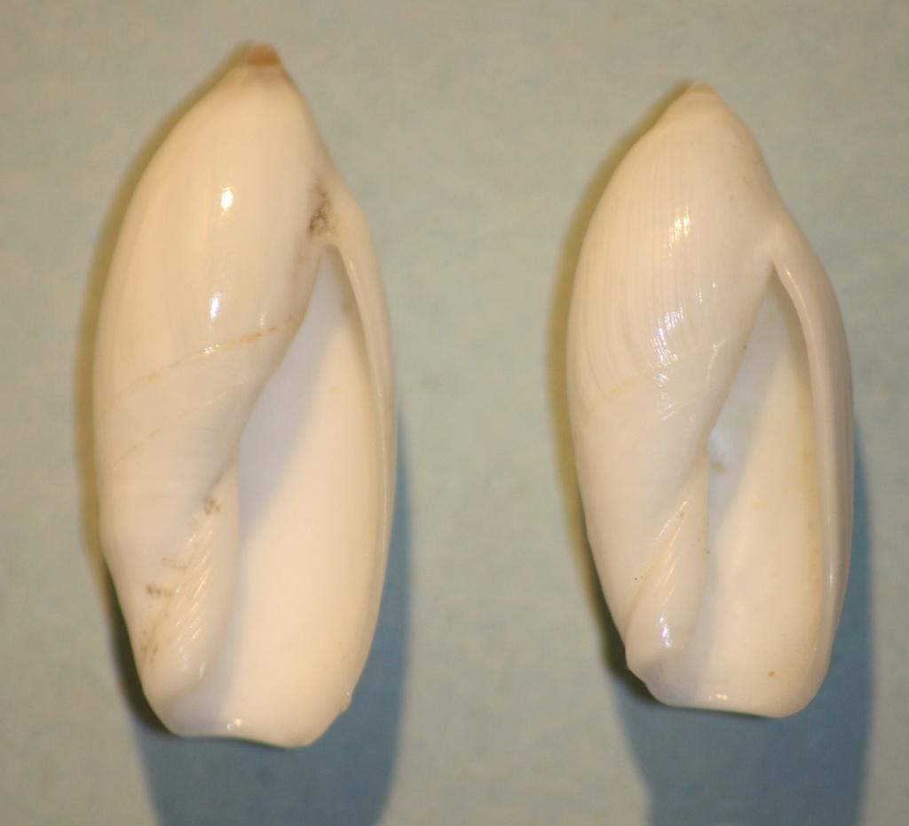 Ancilla cinnamomea - Lamarck, 1801 3-anci10
