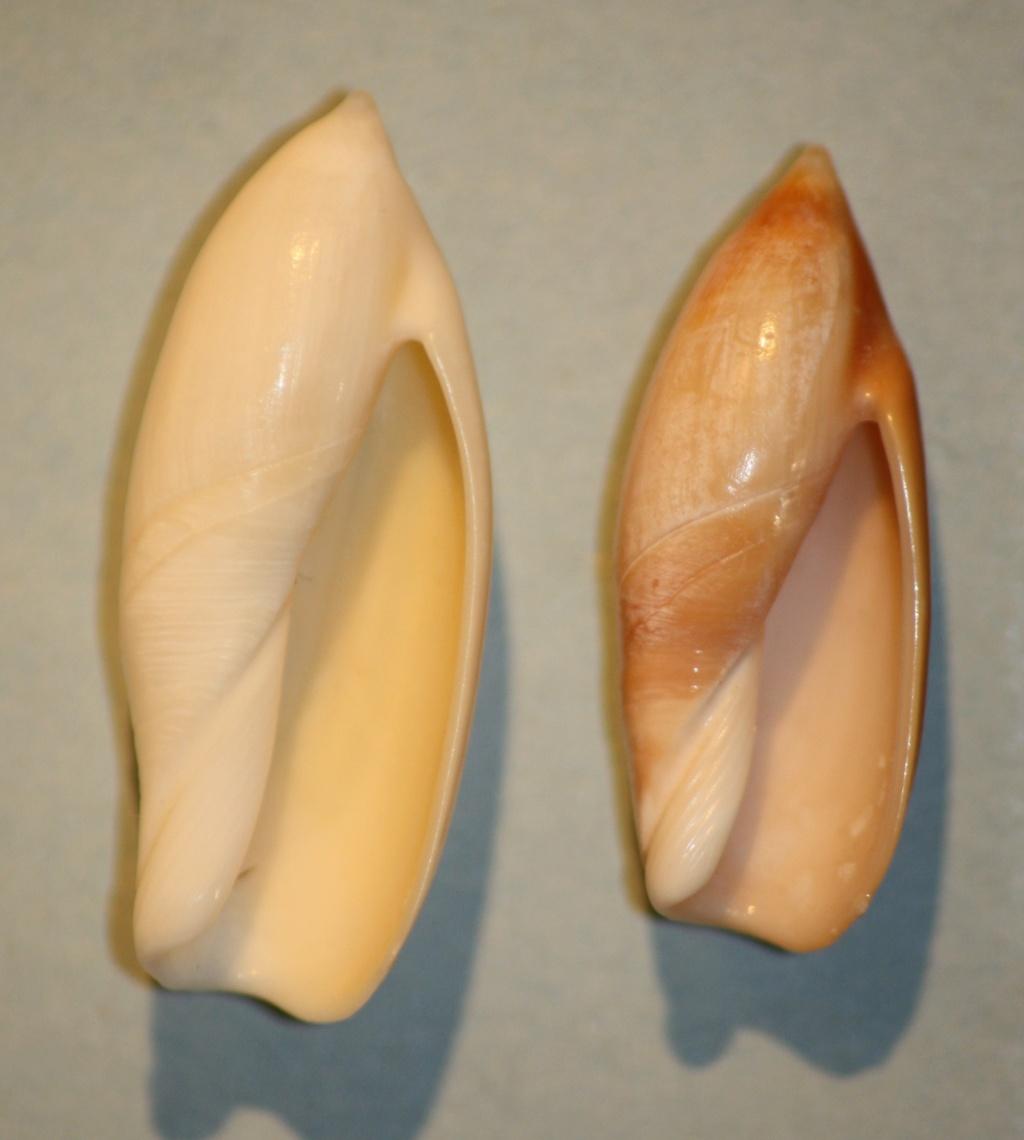 Ancilla ampla - (Gmelin, 1791) 3-anci11