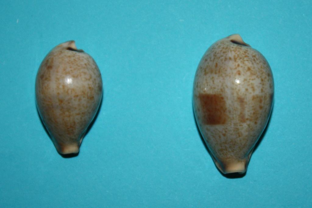 Erronea pyriformis - (Gray, 1824) 3-erro10