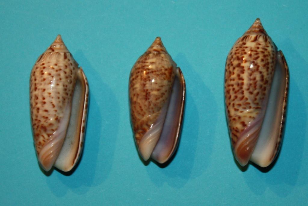 Americoliva venulata (Lamarck, 1811) 3-left11