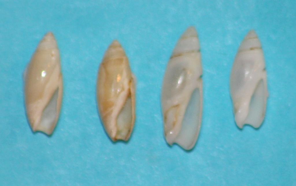 Olivella puelcha (Duclos, 1835) 3-left13