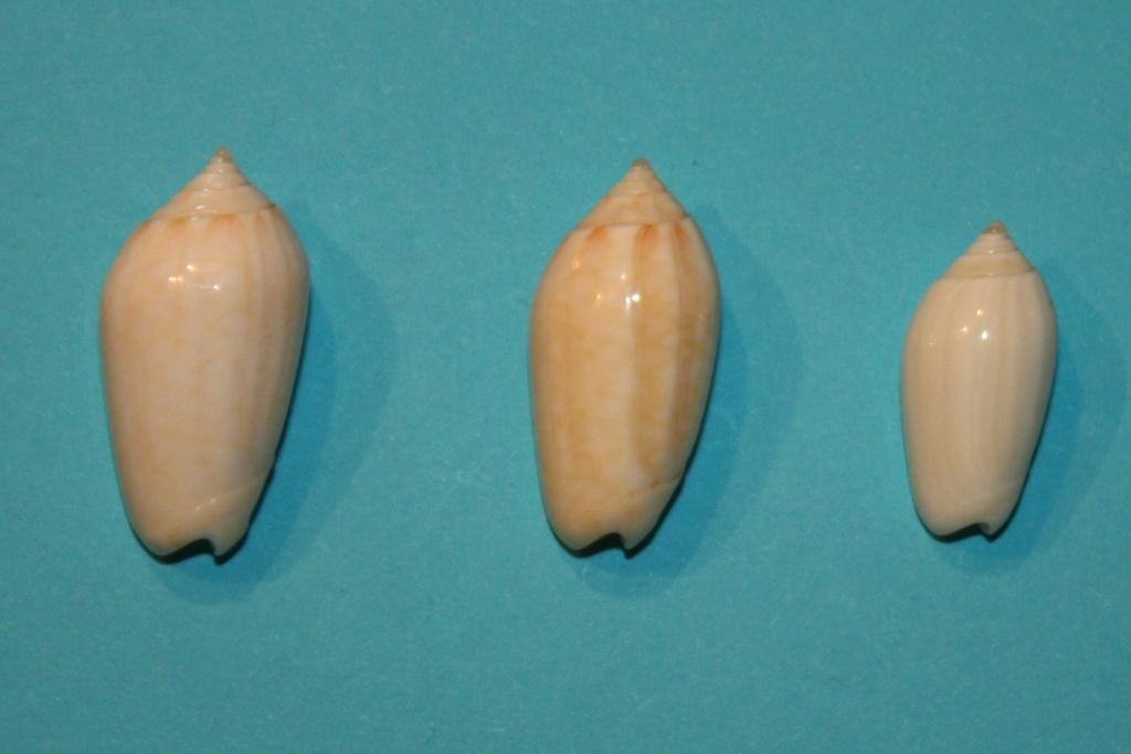 Americoliva pindarina (Duclos, 1840) 3-midd10
