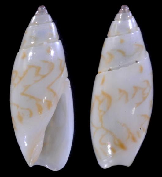 Olivella fulgurata (A.Adams & Reeve, 1850) 3-oliv11