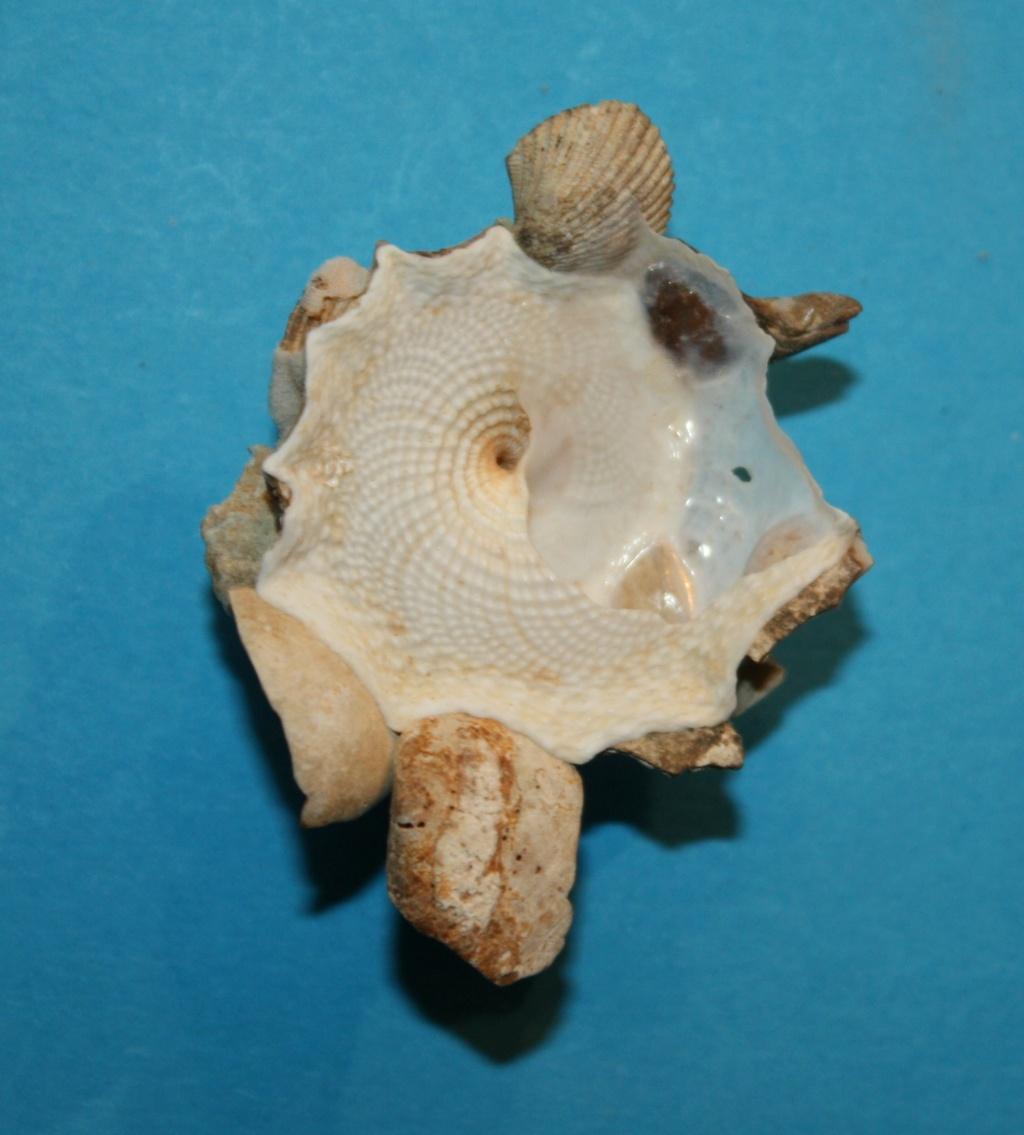 Xenophora corrugata - (Reeve, 1842) 3-xeno10