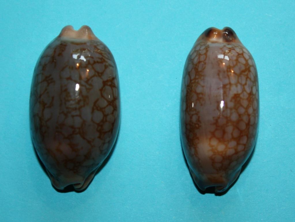 Mauritia scurra scurra - (Gmelin, 1791)  315