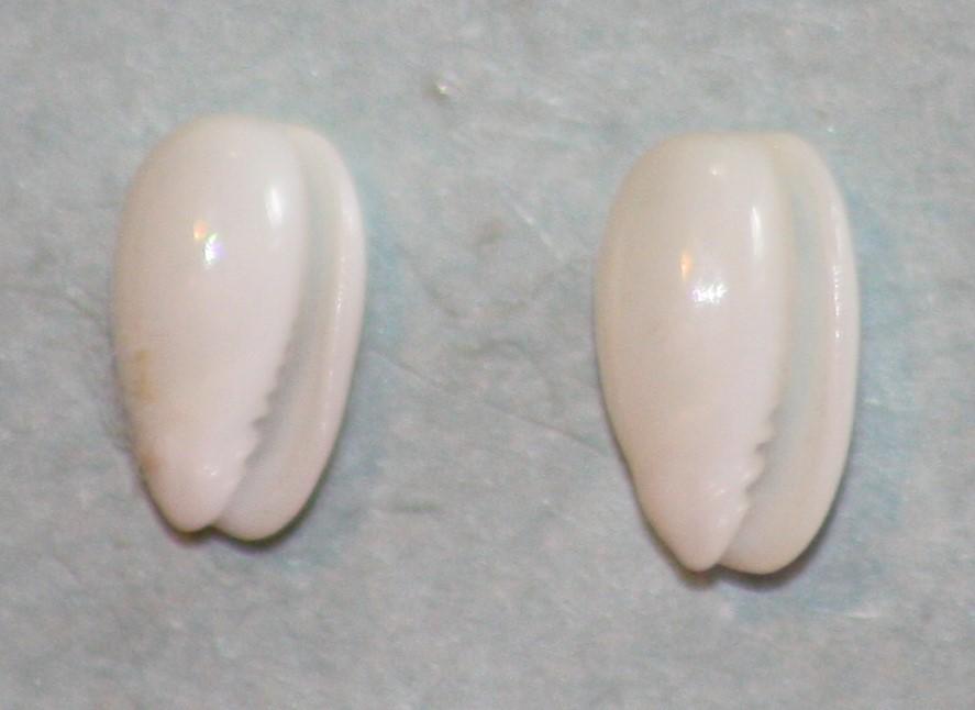 Gibberula pulchella - (Kiener, 1834) 321