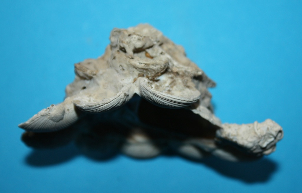 Xenophora neozelanica neozelanica - Suter, 1908 345