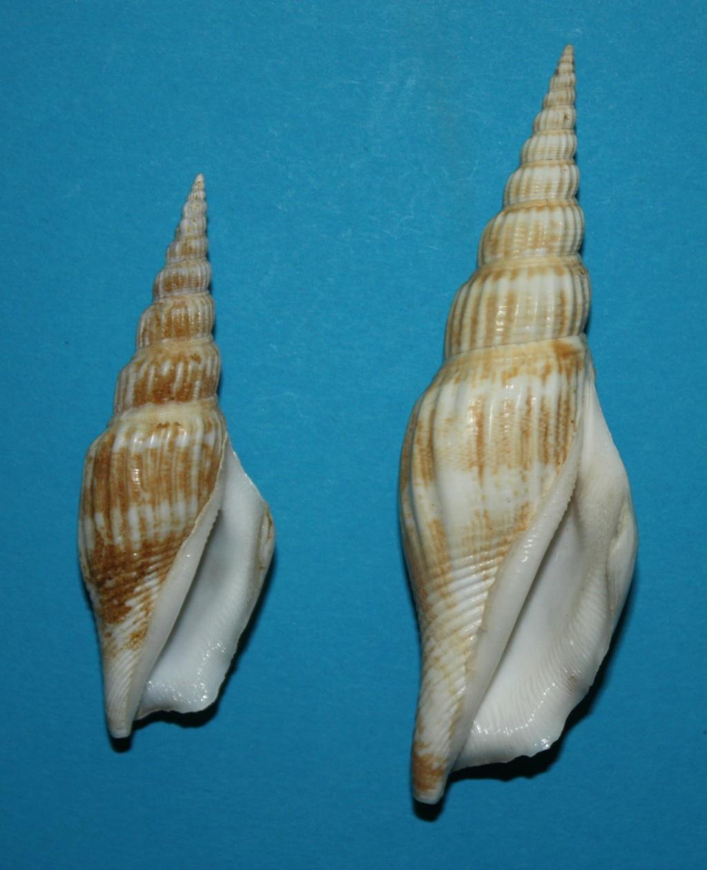 Doxander vittatus apicatus - (Man in 't Veld & Visser, 1993) voir Doxander vittatus (Man in 't Veld & Visser, 1993) 347