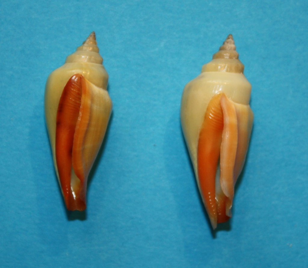 Canarium anatellum - (Duclos, 1844) 3_36_810