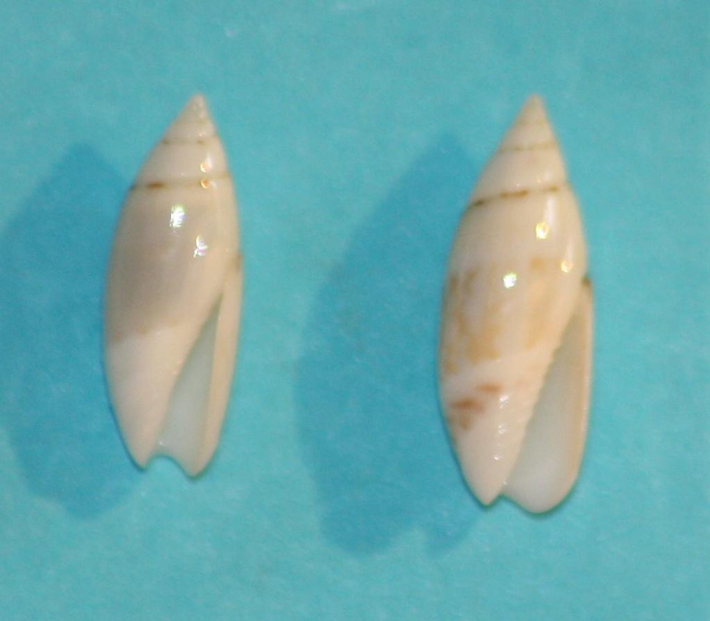 Olivella dealbata - (Reeve, 1850)  voir Dactylidia mica (Duclos, 1835) 3_isla10