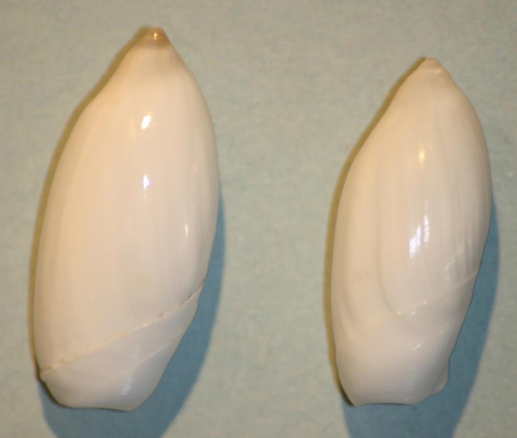 Ancilla cinnamomea - Lamarck, 1801 4-anci10