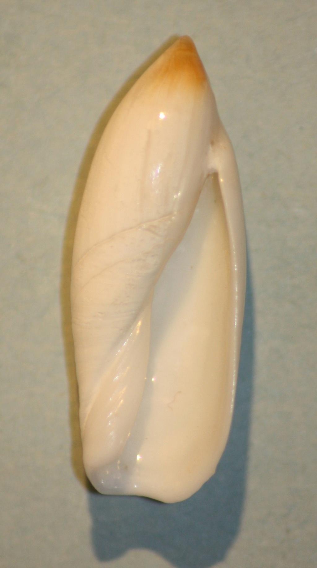 Ancilla ampla - (Gmelin, 1791) 4-anci11