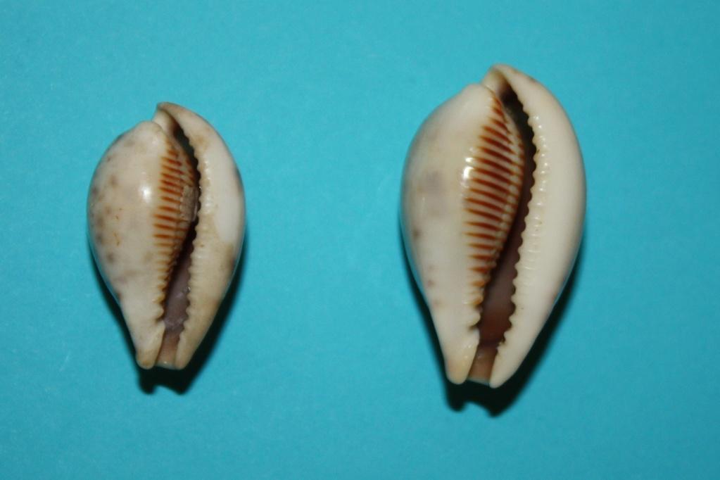 Erronea pyriformis - (Gray, 1824) 4-erro10