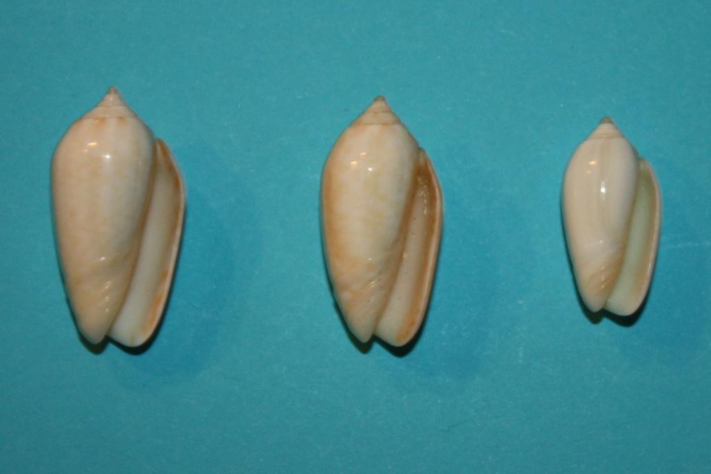 Americoliva pindarina (Duclos, 1840) 4-left10