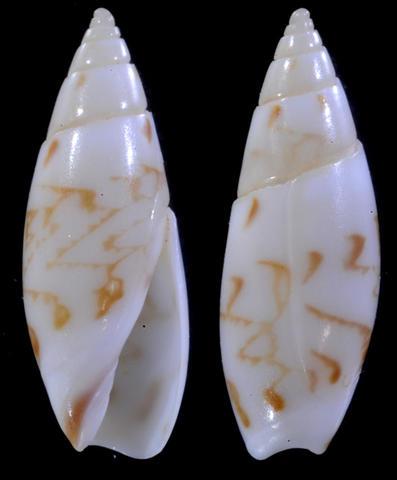 Olivella fulgurata (A.Adams & Reeve, 1850) 4-olve10