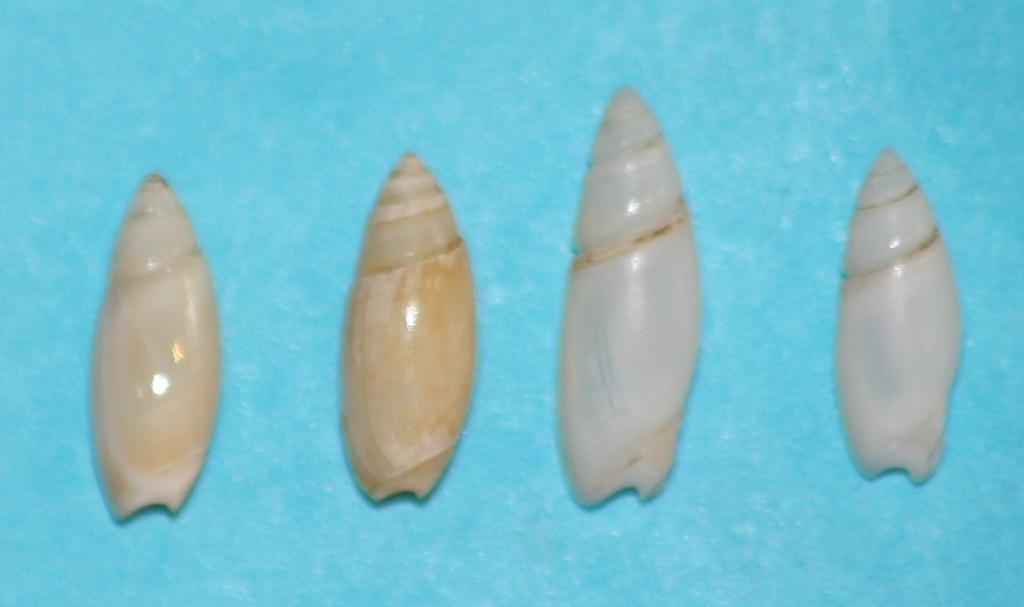 Olivella puelcha (Duclos, 1835) 4-righ10