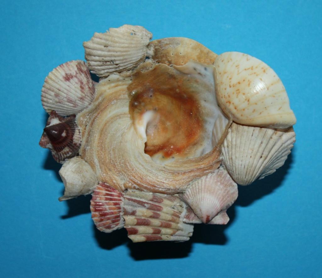 Xenophora robusta - Verrill, 1870 voir Xenophora conchyliophora - (Born, 1780) 4-xeno10