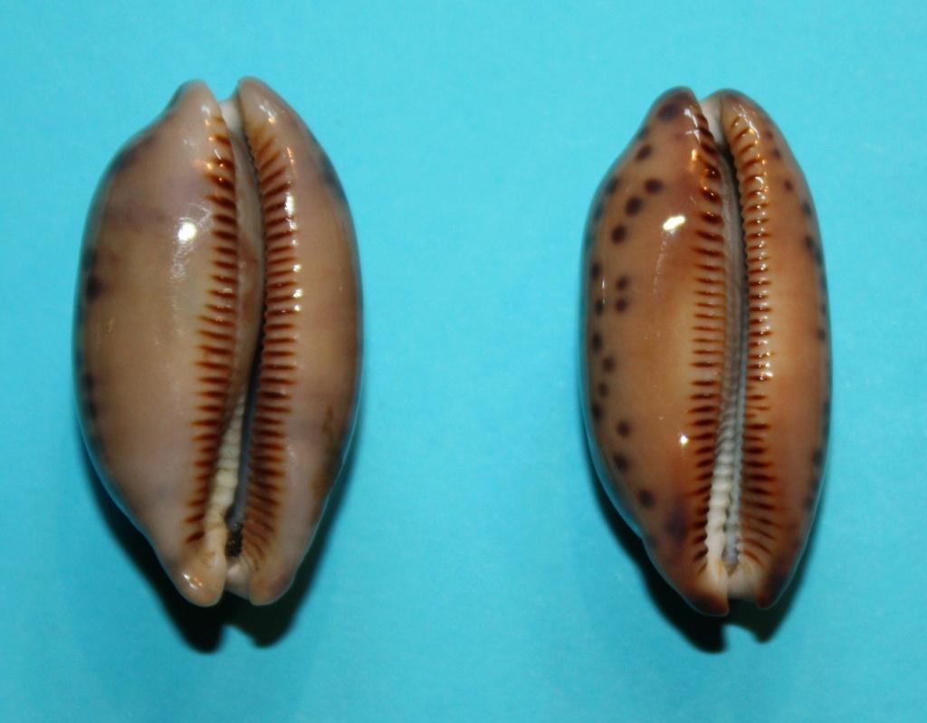 Mauritia scurra scurra - (Gmelin, 1791)  417