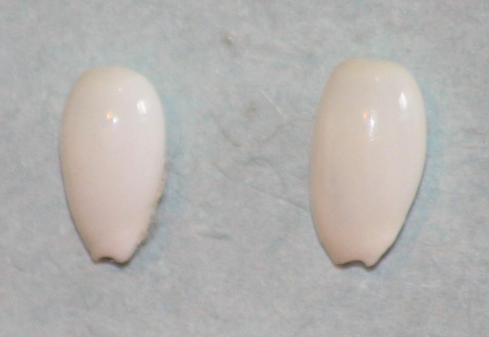 Gibberula pulchella - (Kiener, 1834) 421