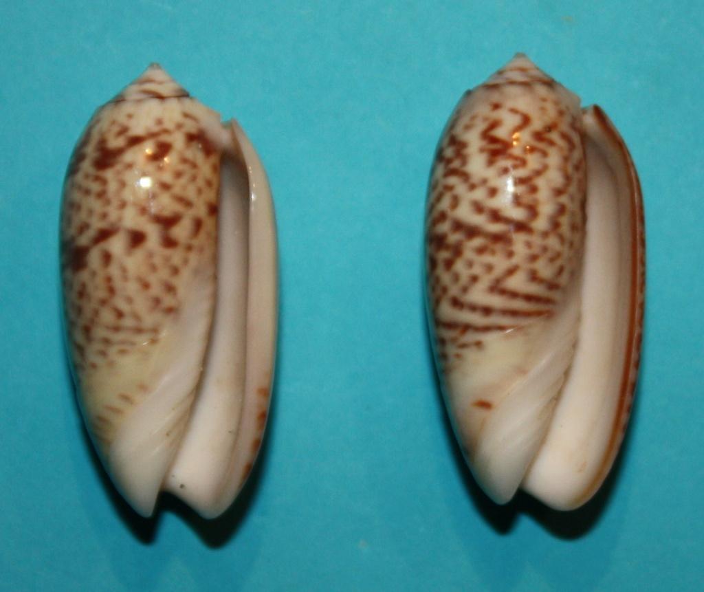Carmione keeni (Marrat, 1870) - Worms = Oliva keenii Marrat, 1870 423