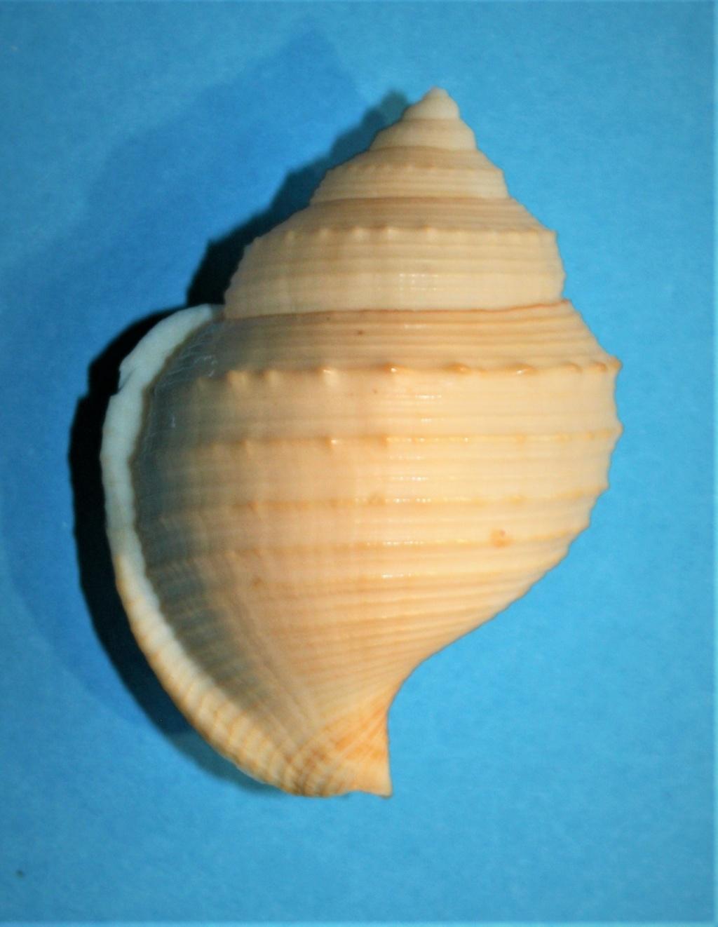 Galeodea keyteri (Kilburn, 1975) 434