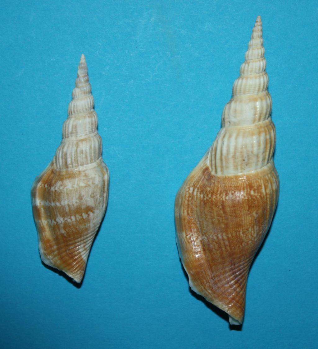 Doxander vittatus apicatus - (Man in 't Veld & Visser, 1993) voir Doxander vittatus (Man in 't Veld & Visser, 1993) 437
