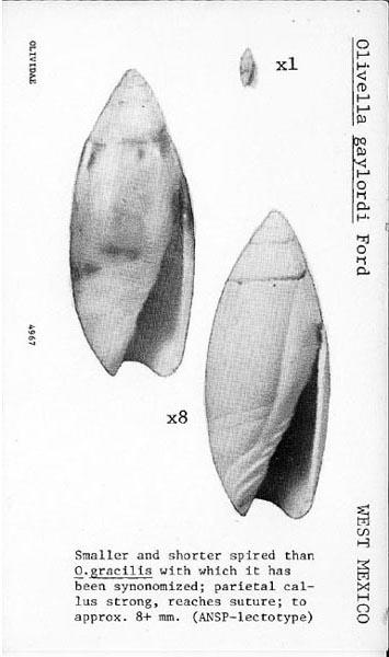 Olivella gracilis - (Broderip & G.B. Sowerby I, 1829) 496710
