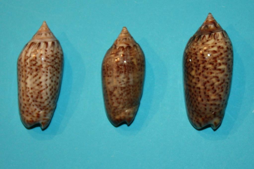 Americoliva venulata (Lamarck, 1811) 4_midd11