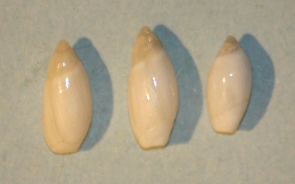 Ancilla cylindrica (Sowerby,1859) 5-anci12