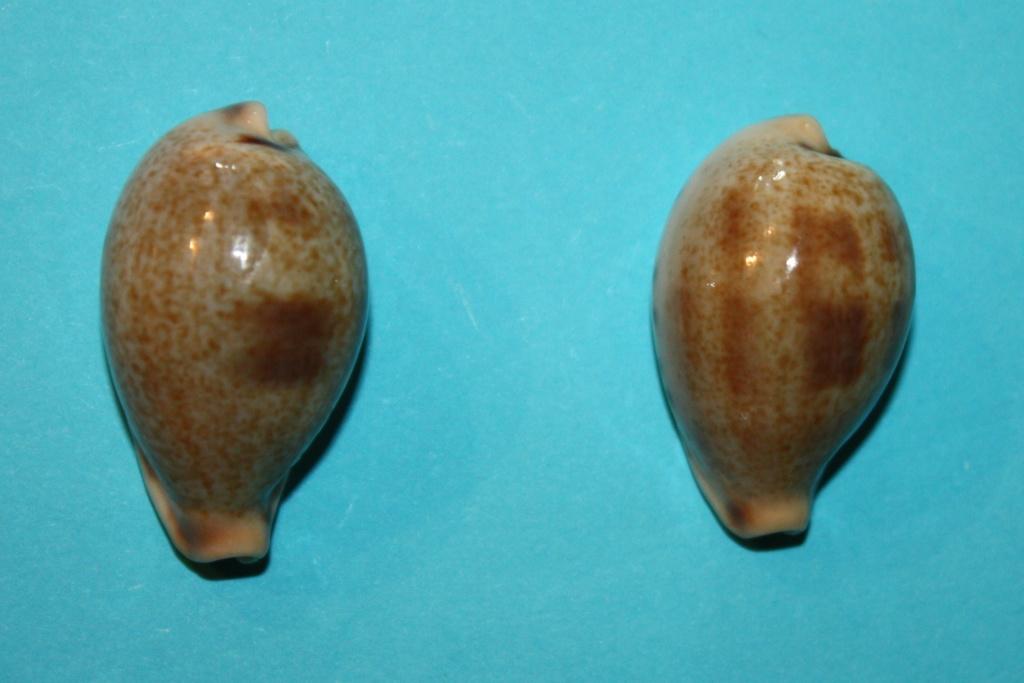 Erronea pyriformis - (Gray, 1824) 5-erro10