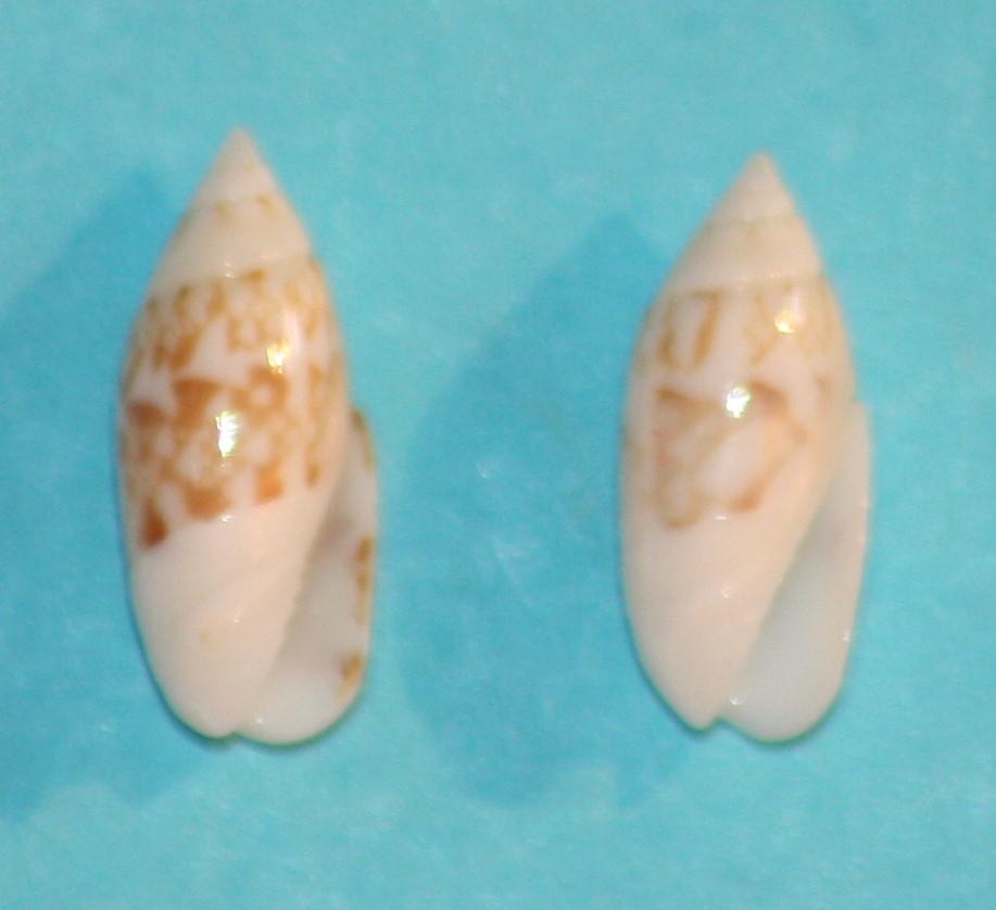 Olivella dealbata - (Reeve, 1850)  voir Dactylidia mica (Duclos, 1835) 5-isla10
