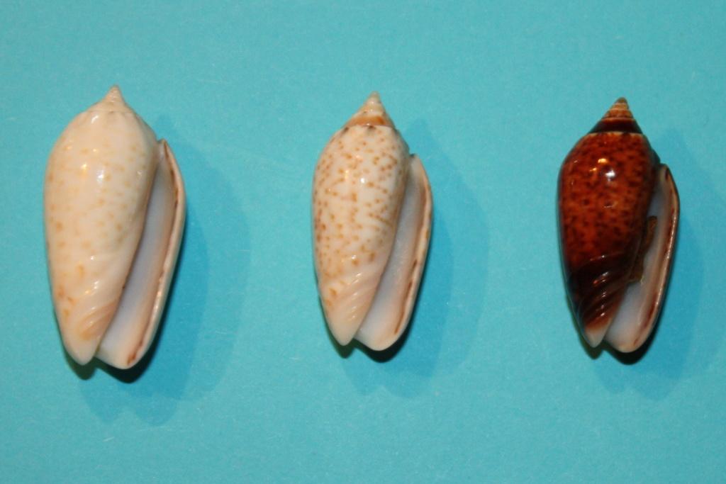 Americoliva pindarina (Duclos, 1840) 5-left10