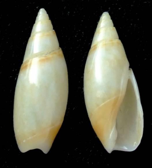 Olivella fulgurata (A.Adams & Reeve, 1850) 5-oliv12