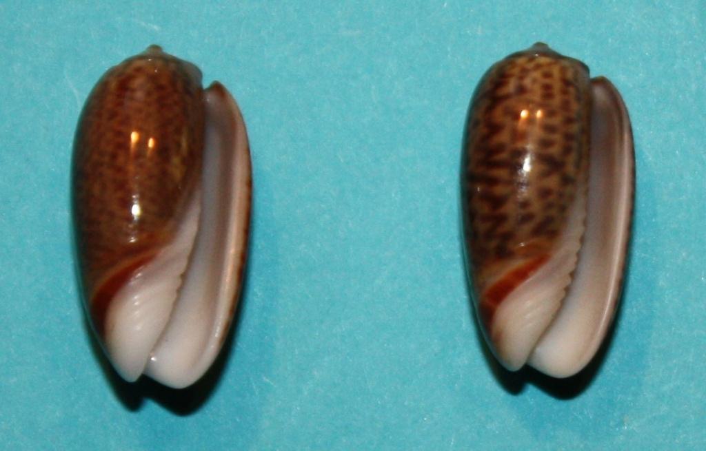 Carmione dactyliola (Duclos, 1835) 521