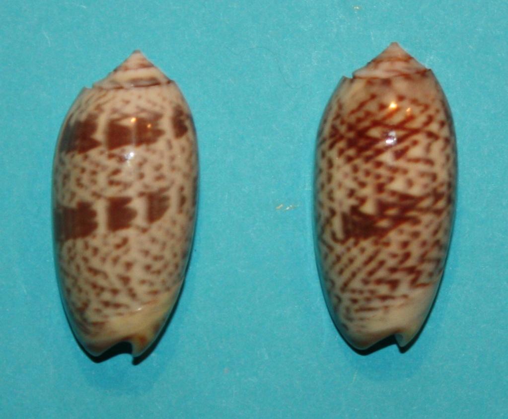 Carmione keeni (Marrat, 1870) - Worms = Oliva keenii Marrat, 1870 522