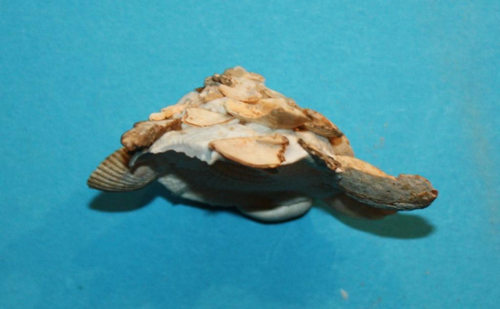 Xenophora corrugata - (Reeve, 1842) 529